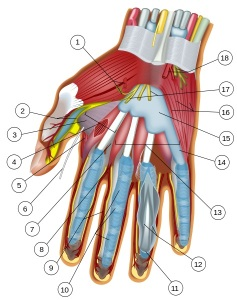 474px-Wrist_and_hand_deeper_palmar_dissection-numbers